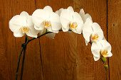 pestovanie orchideí phalaenopsis