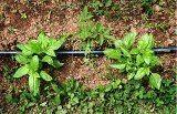 ako pestovať bazalku