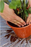 ako presadiť izbové rastliny