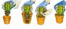 presadzanie kaktusu