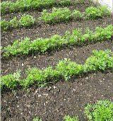 ako pestovať mrkvu