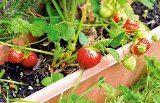 jahody na balkóne