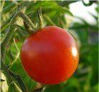 kričkove paradajky
