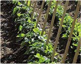 sadenie uhoriek