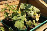 vysadzovanie zeleniny