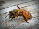 bodnutie od včely