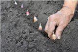 ako pestovať cesnak