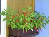 ako pestovať mini papričky