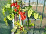 mini paradajky v byte