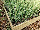 pestovať cesnak v záhradke