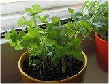 vypestovať zeleninu v byte