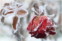 ako zazimovať ruže