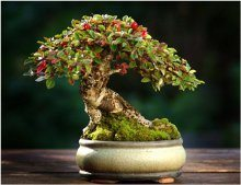 ako zazimovať bonsaj