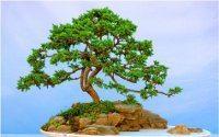krásny bonsaj