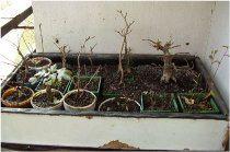 zazimovanie bonsaja