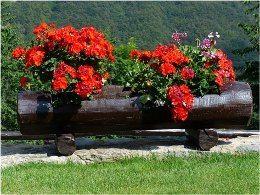 krásne červené muškáty