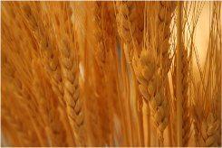 bezlepková dieta a nebezpečná pšenica
