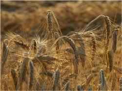 pšenica Tritictum