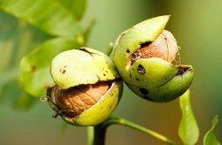 ako odstraniť škvrny od orechov