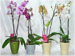 ako pestovať orchideí