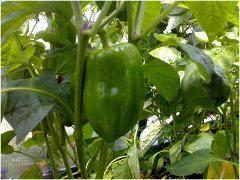 ako pestovať papriku