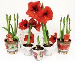 nákup rastlinky amarylis