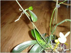 pestovnaie orchidey