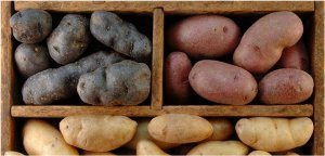 skladovanie zemiakov na zimu a odrody zemiakov