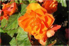 oranžová begónia