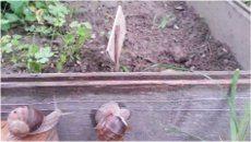 pasca na slimáky v záhrade