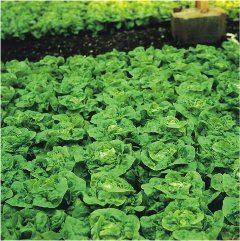 pestovanie šalátu