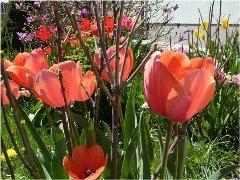 sadenie tulipánov na záhrade