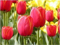 červené tulipány v záhrade