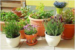 ako sa starať o trvalku v kvetináči