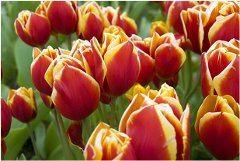 ako si vybrať medzi tulipánmi