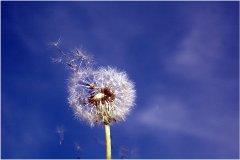 púpava a jarná alergia