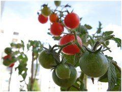 pestovanie a zvyšovanie úrody paradajok