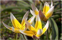 výber tulipánov do záhrady