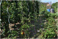 vykonávanie postreku na paradajky