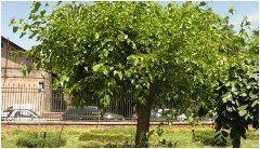 ako pestovať morušovník