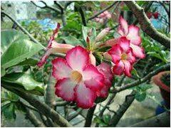 ako pestovať púštnu ružu