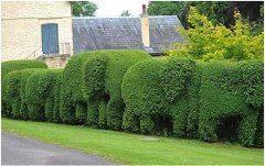 ako strihať živé ploty správne
