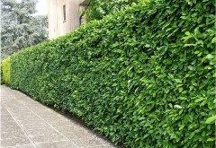 ako strihať živý plot