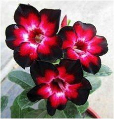 kvety púštnej ruže