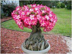 pestovanie púštnej ruže ako bonsaj