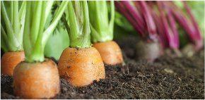 pestovanie vlastnej mrkvy
