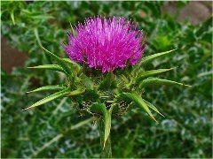 rastlina pestrec marianský na detoxikáciu pečene