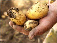 uskladňovanie skorých a neskorých zemiakov