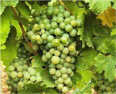 ako sa starať o vinič v zime