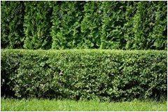 ako vybrať rastliny na živý plot